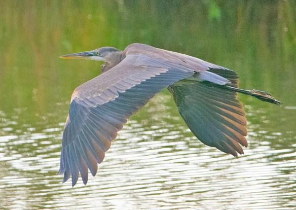 Great Blue Heron 2021-132