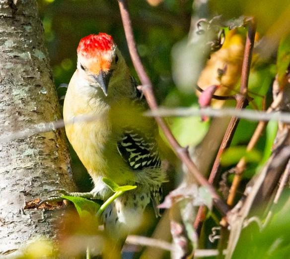 Red Bellied Woodpecker 2021-16