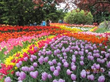 Tulip fields in La Conner, WA