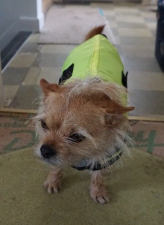 Small dog in a high visibility jacket