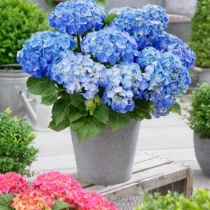 Kleinblijvende hortensia Hydrangea macrophylla XS blauw