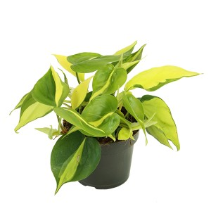 Philodendron Scandens 'Brasil' - P 12 cm