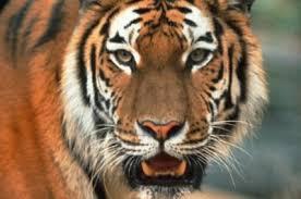 यसरी एक साथ गणना गरिँदैछ नेपाल र भारतका बाघ
