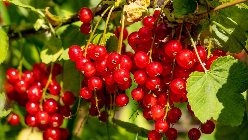 close-up photograph of vividly red guelder rose berries