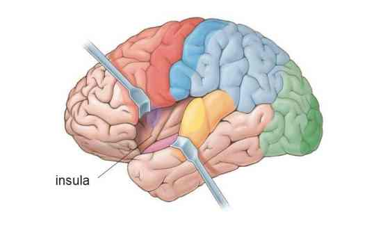 Image result for insula