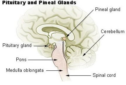Pineal Gland Anatomical Structure Location Disorders Sleep
