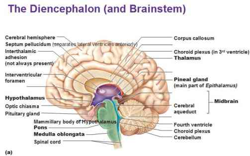 Pineal Gland   Anatomical Structure, Location, Disorders & Sleep