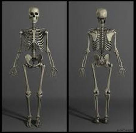 human anatomy skeleton in india – buy online in medical category, Skeleton