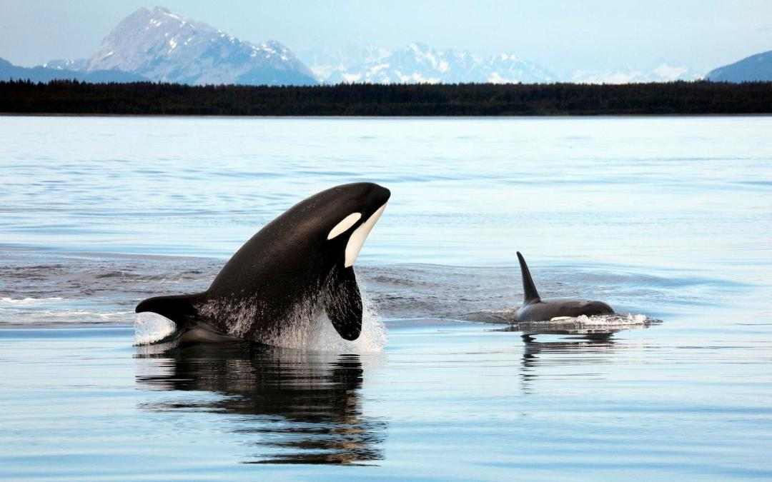 Orcas swimming in the sea with mountains behind them