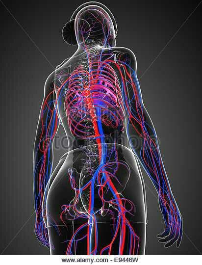 Circulatory system veins arteries