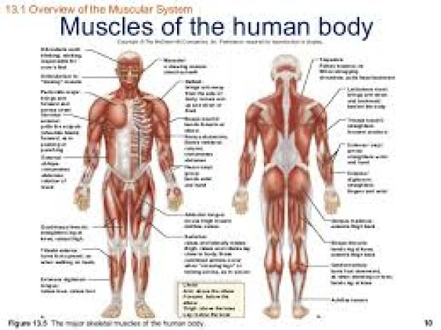 Muscular system,muscles,parts of the muscular system