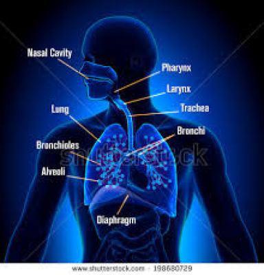 Respiration,human respiratory system