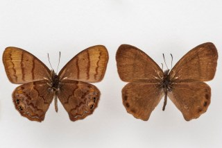New butterfly specie found 60 years after it was first discovered