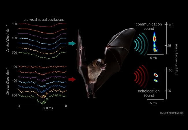 different vocalization-related neural signals occurring across frontal cortex laminae (left) precede the two types of sounds (right) uttered by bats