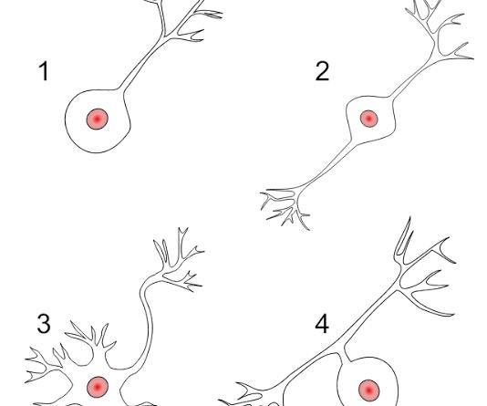 von economo neuron