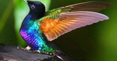 Wild hummingbirds see a broad range of colors humans can only imagine