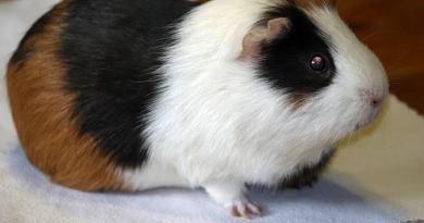 Guine-Pigs