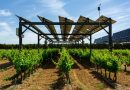 Tinted solar panels allow plants to grow efficiently on 'agrivoltaic' farms
