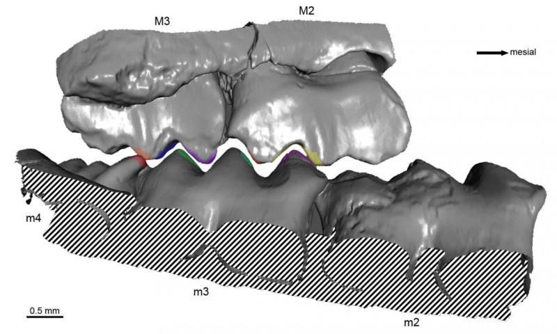 Dentition of P. fruitaensis