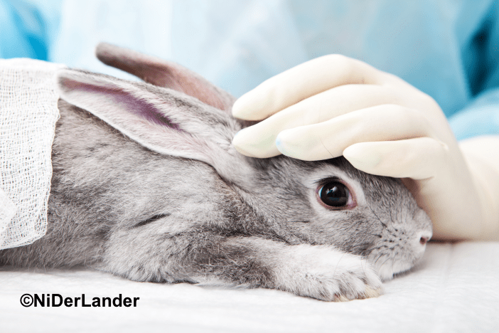 A rabbit is held down by a gloved hand, in preparation for an experimental procedure