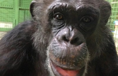 This is a photo of Midge the chimpanzee and her big smile
