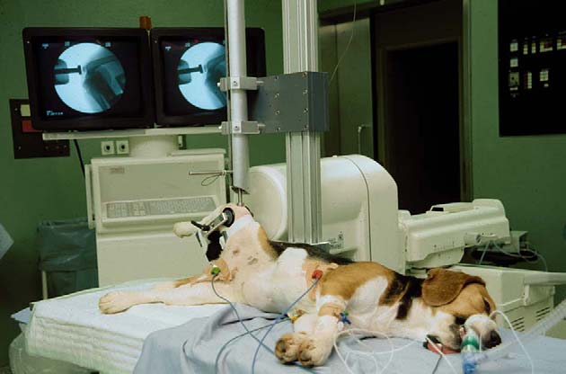 This is a photograph of a small beagle dog, under anaesthetic and laid on a table in preparation for a 2kg weight to be dropped on her bent knee.