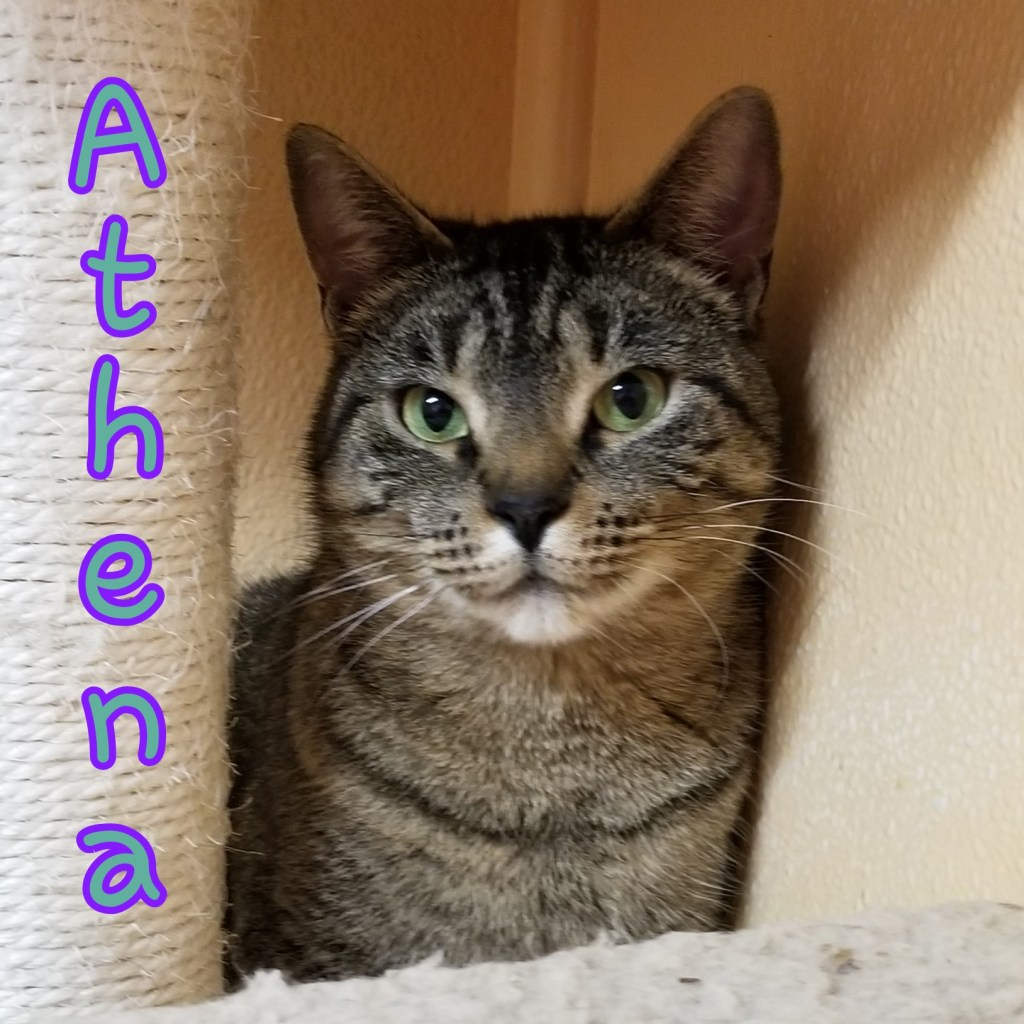 Athena-DOB 10/29/17, female Tabby. This sweetie will do well in a quieter home. Athena enjoys playing with stuffed mice and lounging near a window.