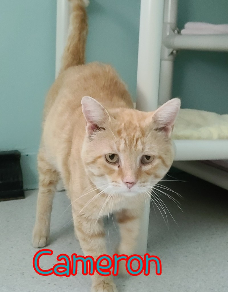 Cameron: DOB 08/20/14, Male ***FIV+*** Must go to home as only cat or with well socialized cats. Cameron loves people, very affectionate