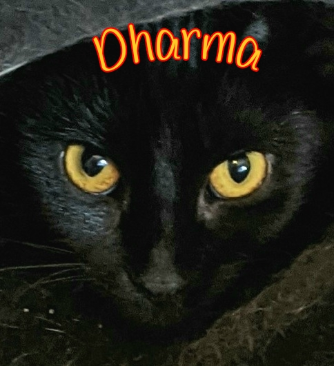 Dharma: Female, all black. DOB 07/01/2020. This pretty girl has the most striking golden eyes that pop against her sleek dark coat! Dharma is a bit shy at first but enjoys affection once she trusts you. She will do best in a quiet, calmer home.