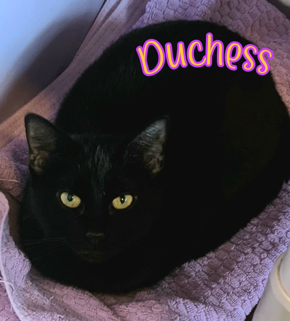 Duchess: Female, DOB 03/01/2019. Duchess is a large kitty at almost 10# but is very well mannered and affectionate. Duchess gets along with her kitty roommates and has a lovely, sleek black coat. She will do well in almost any home type.
