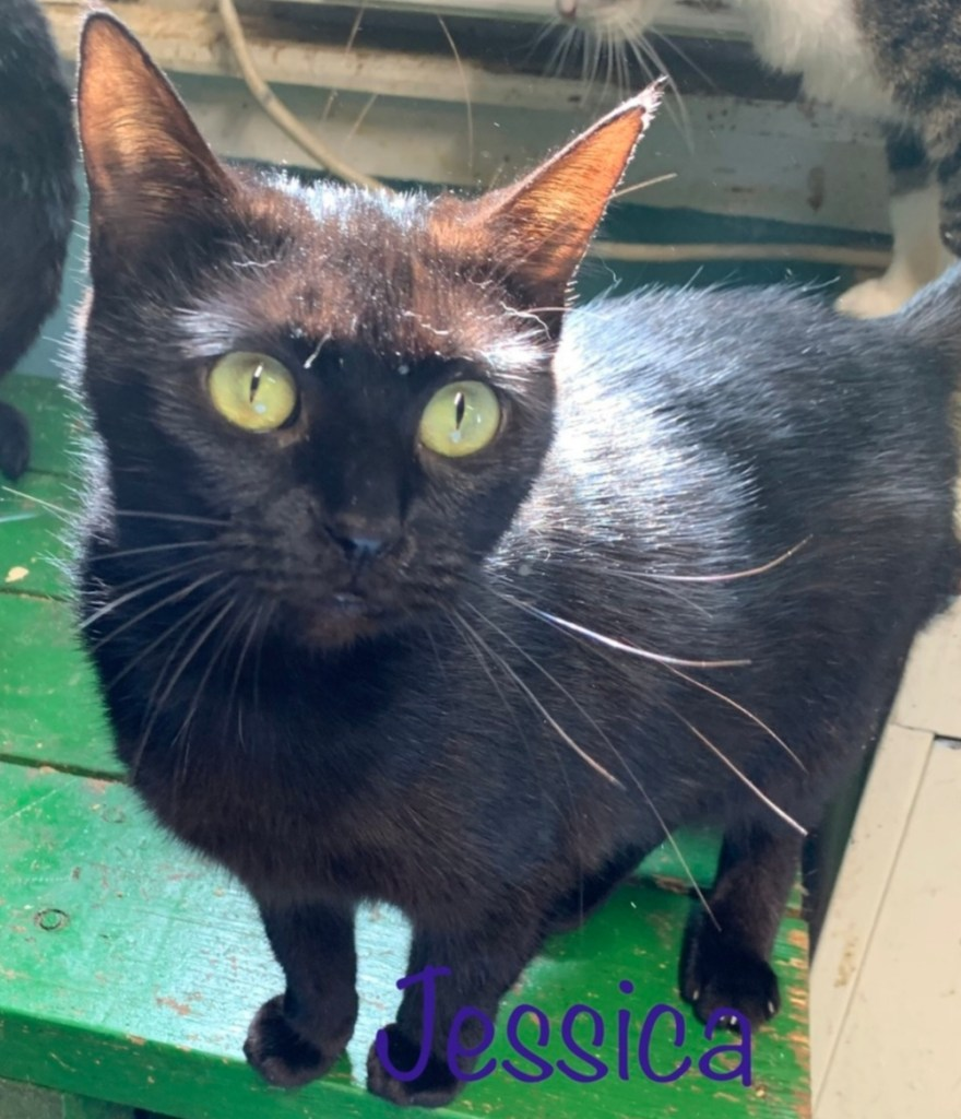 Jessica-Female, DOB 08/27/17, Jessica is very affectionate and playful, she is social and enjoys meeting new friends both human and kitty! She will do well in any home environment.