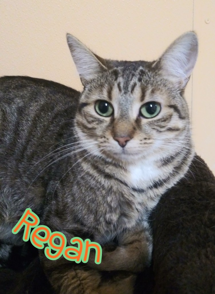 Regan: DOB 06/01/2018. Female Tabby. Reagan is a bit shy at first but once you earn her trust, you have a friend for life! She will do best in a calmer home environment.