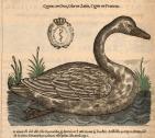 Cygnus - Olor - Cygne. In L'Histoire de la nature des oyseaux, Pierre Belon, 1555