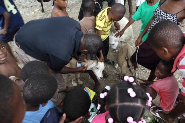 Goats Deworm Belts - Les Cayes_247