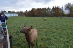 Elk cow 2