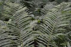 Vermont ferns