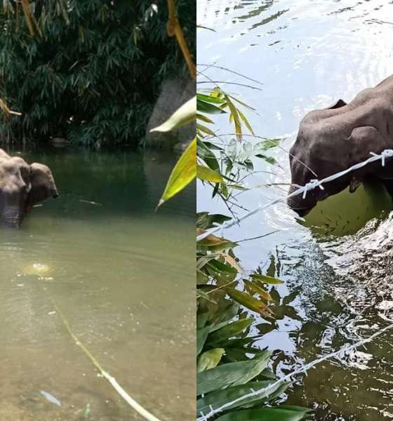 Pregnant Elephant Was Not 'Fed' Pineapple