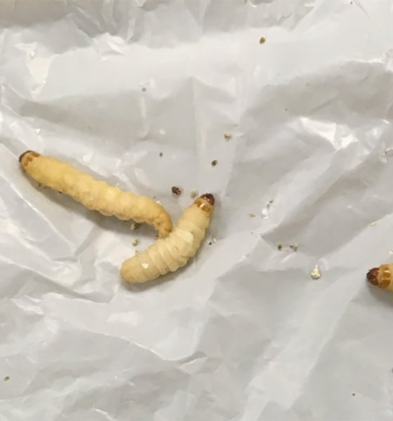 These Plastic Chewing Caterpillars Can Help Fight Plastic Pollution