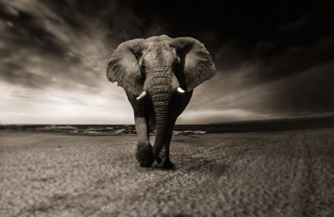 Bull Elephant with ears flared facing camera with ominous sky behind him