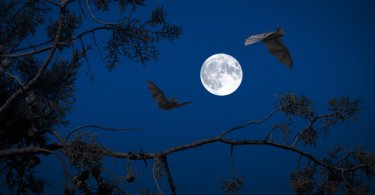 bats flying with full moon