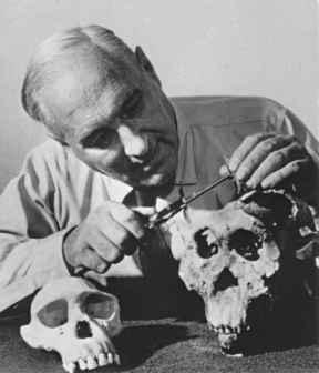 Louis Leakey tutkii Olduvain rotkosta löytyneitä kalloja. Kuva: Wikipedia, public domain.