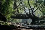 Living Root Bridges