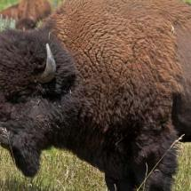 Buffalo (Custer S.P., S.Dak.)