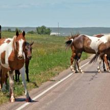 Horses (Pine Ridge Indian Reservation, S. Dak.)