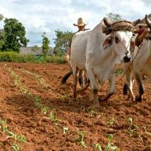 Viñales (plowing tobacco field)