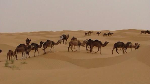 Les 17 chameaux