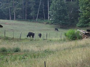 Black Angus cattle across the road