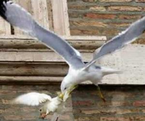 Popes-peace-doves-attacked-by-seagull-and-crow