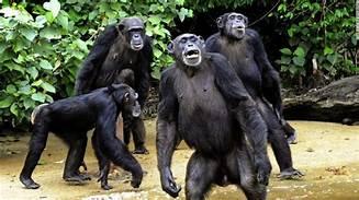Image result for chimpanzee argument