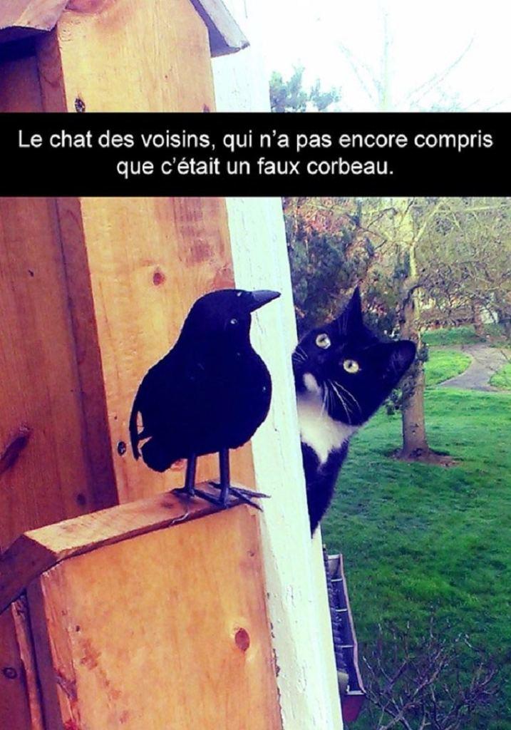 Le chat des voisins, qui n'a pas encore compris que c'était un faux corbeau